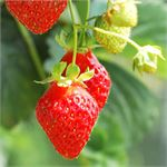 How to Grow Strawberries Step by Step Tutorial