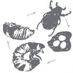 Chafer Beetle - Everything You Need to Know!